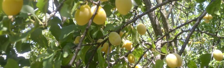 Jinars de prune Marcă Înregistrată