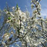 Prunele albe din care se face Jinarsul de prune-infloriti.