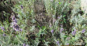Lavandă (Lavandula angustifolia) beneficii și proprietăți