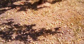 Strânsul prunelor de jinars la Tioltiur.
